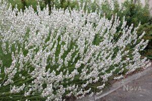 Lavandula angustifolia Edelweiss