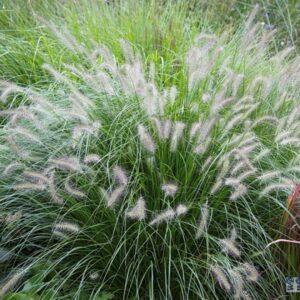 Pennisetum alopecuroides hameln